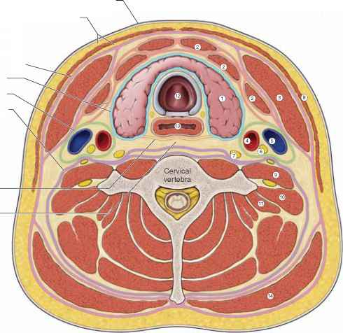 Deep Cervical Fascia - Anatomy - Mitch Medical Healthcare