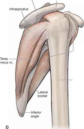Muscular Support - Anatomy - Mitch Medical Healthcare