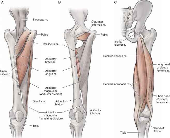 Anatomy of the thigh muscles