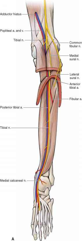 Posterior Tibial Artery - Anatomy - Mitch Medical Healthcare
