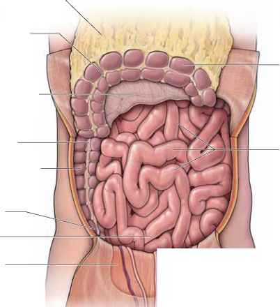 Ascending And Transverse Colon Anatomy Mitch Medical Healthcare