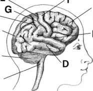 Motor Strip The Frontal Lobe