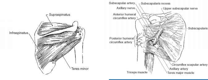 Nerves The Rotator Cuff