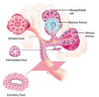 Histology Ducts Scheme