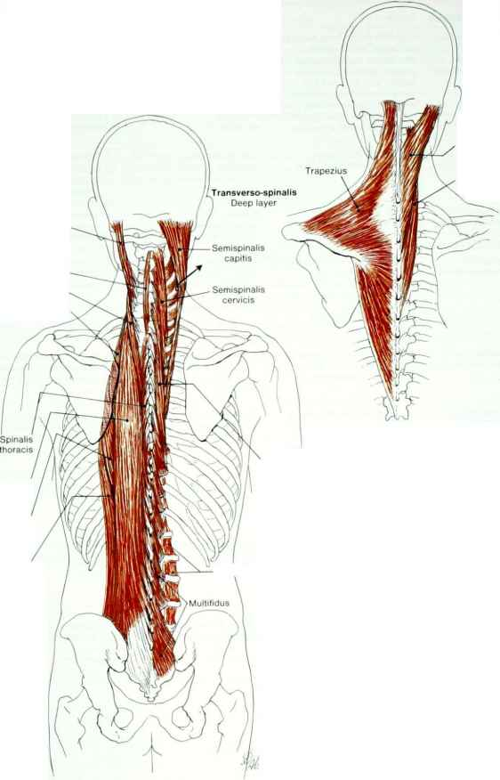 Motorpoint Adductor Muscles