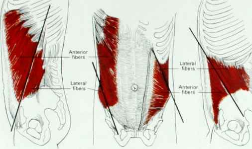 Transverse Abdominis Muscle Shape